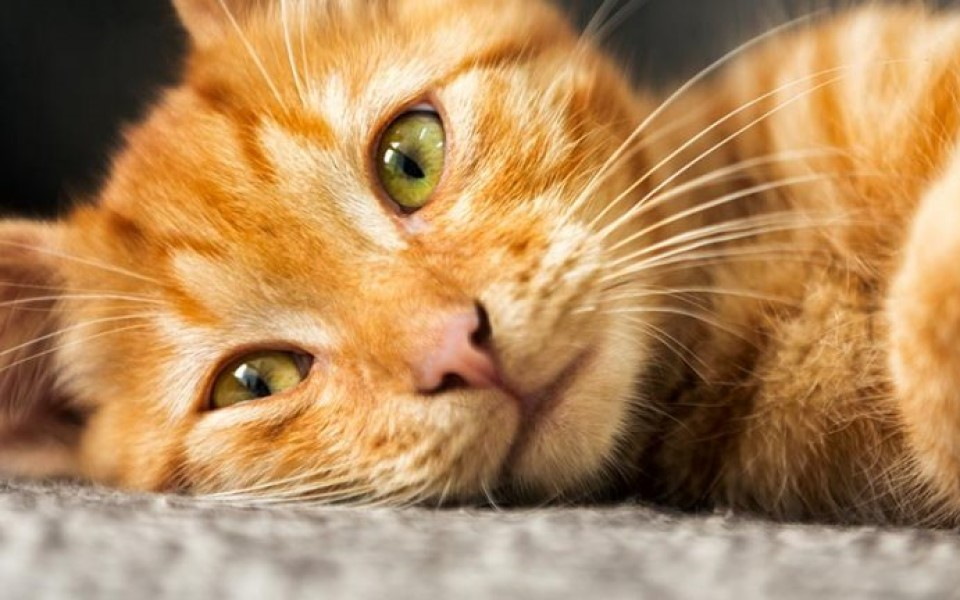 'Lý do tôi chọn mèo ta?' - Kỳ 2: 'Mèo mướp vàng' thân thiện và quả cảm