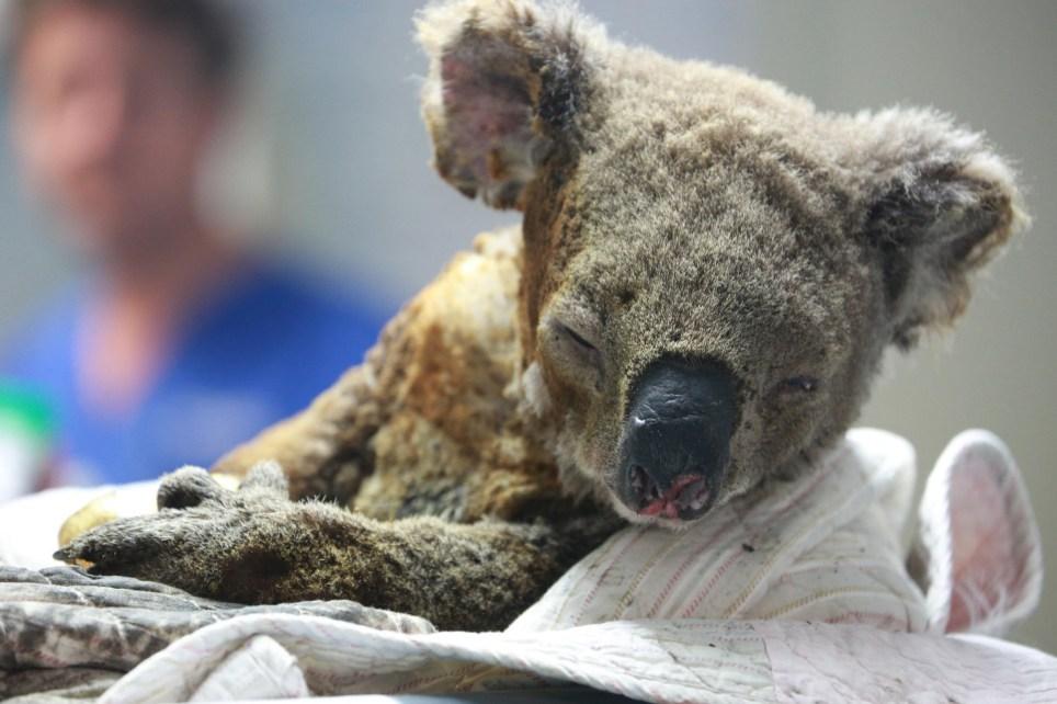 Vụ cháy rừng ở Úc đã phá hủy tới 80% môi trường sống tự nhiên của gấu Koala