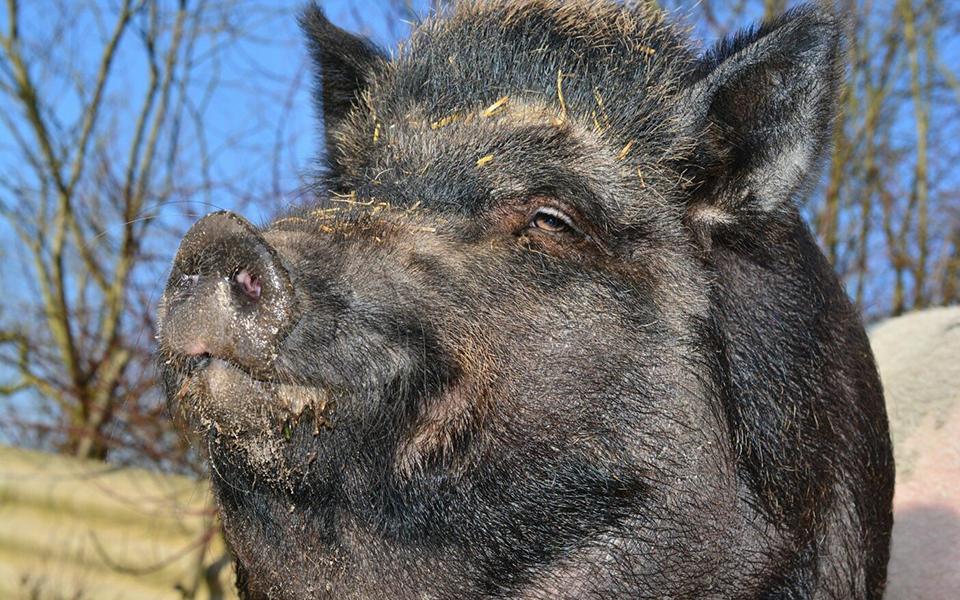 Lợn hoang chôm được 'mai thuý' trị giá hơn 500 triệu VNĐ khiến cảnh sát cũng giật mình
