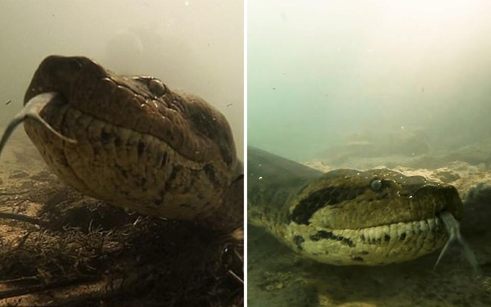 Cuộc chạm trán đáng sợ giữa thợ lặn và trăn xanh Nam Mỹ khổng lồ
