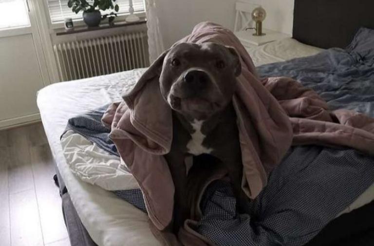 Cụ bà sợ chó cho đến khi được một chú Pitbull cứu mạng