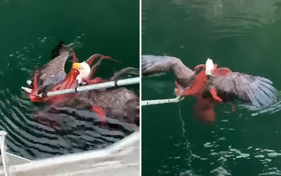 Đại bàng háu ăn bị bạch tuộc kéo xuống biển suýt chết đuối