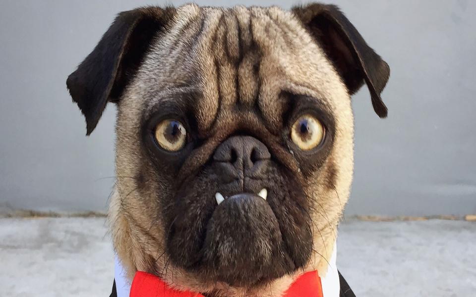 Mỗi khi tức giận, chú chó Pug này sẽ thả 'bom' lên đồ đạc của chủ