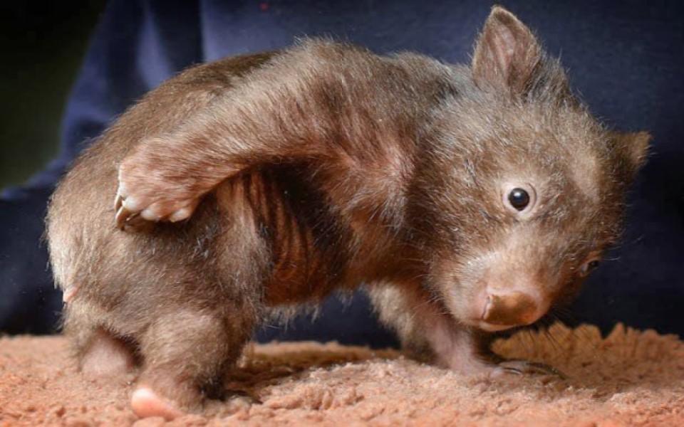 Thực hư chuyện gấu túi Wombat cho loài thú khác ở nhờ hang mình trong vụ cháy rừng ở Úc