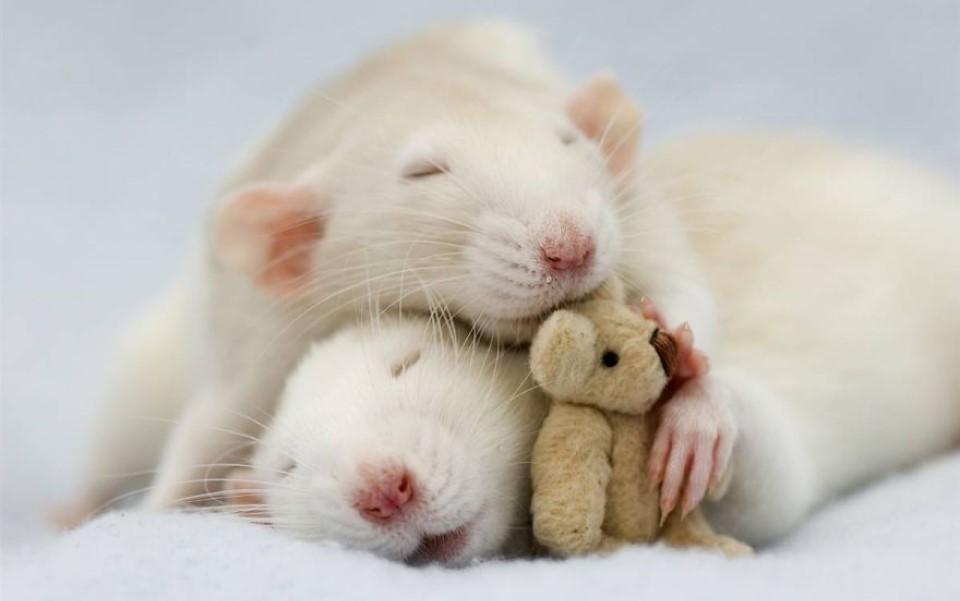 Năm Canh Tý bàn chuyện con chuột (Kỳ 1): Những kỷ lục của 'ông Tý' mà bạn chưa biết