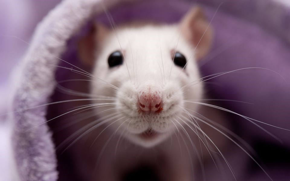 Năm Canh Tý bàn chuyện con chuột (Kỳ 2): Chuột gây hại nhưng nhân loại cũng nợ chúng rất nhiều