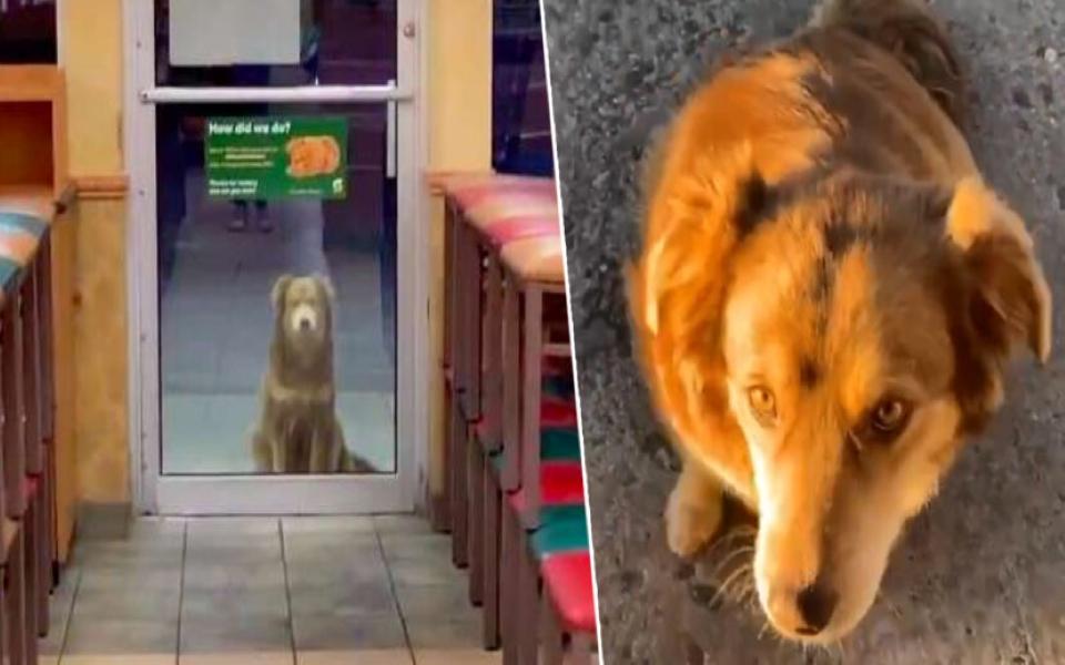Không chịu lao động, cô chó ngày nào cũng đến nhà hàng xin ăn