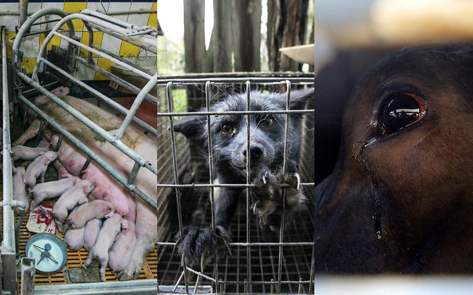 Cuộc sống như địa ngục của động vật trong trại nuôi nhốt có thể biến bạn từ người ăn thịt thành ăn chay