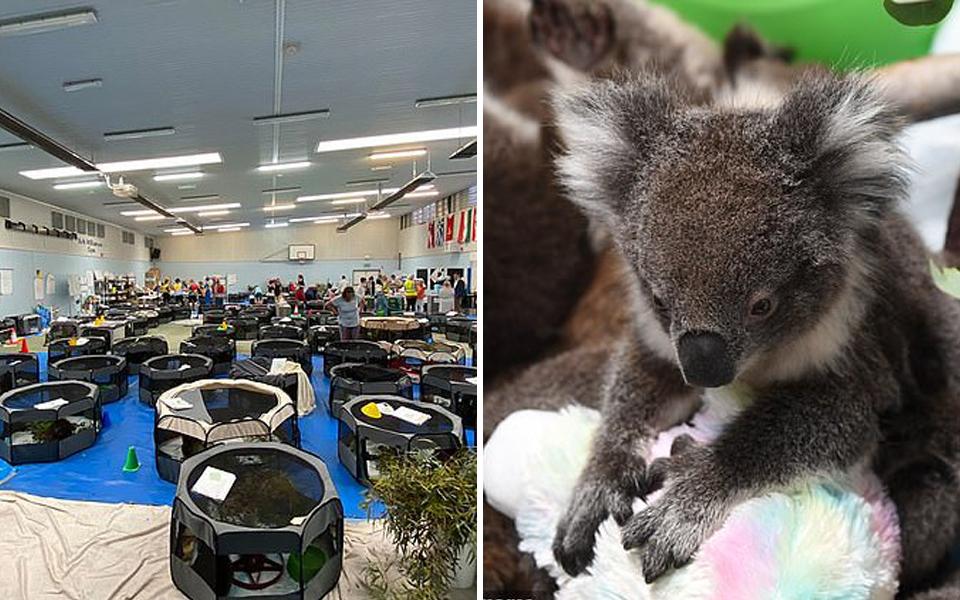 Những hình ảnh bên trong trạm cứu hộ gấu túi từ đám cháy rừng Úc