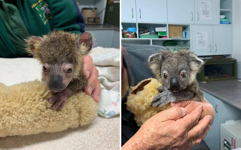 Hành trình hồi phục kỳ diệu của chú koala suýt mất mạng trong trận cháy rừng ở Úc