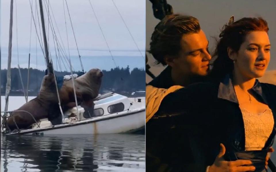 Cặp sư tử biển trèo lên du thuyền 'đu đưa' hẹn hò nhưng nặng quá suýt làm chìm luôn thuyền