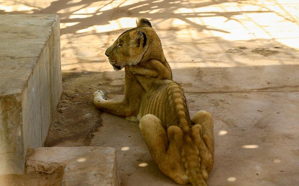 Hình ảnh xót xa trong năm mới: Những con sư tử gầy trơ xương nằm dài trong vườn thú ở Sudan