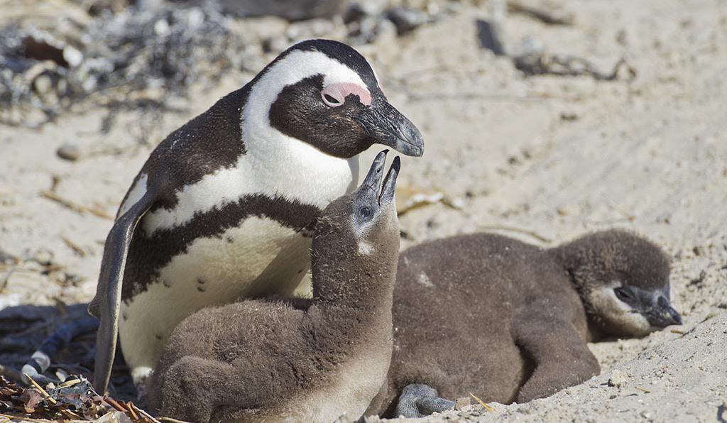 Ngôn ngữ của chim cánh cụt thực chất rất 'giống' với con người - phát hiện gây shock từ các nhà khoa học