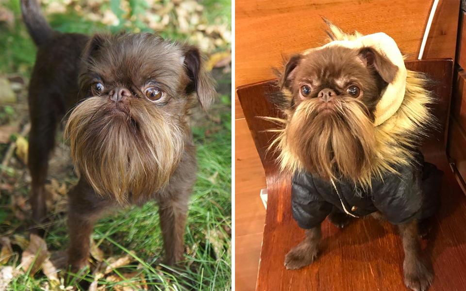 Chú chó có biệt danh là Chewbacca nhờ có bộ râu xồm xoàm y như nhân vật trong 'Star War'