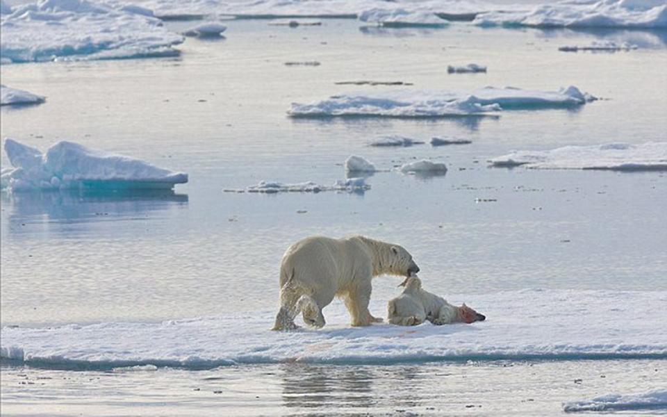 Gấu Bắc Cực có xu hướng ăn thịt đồng loại do tác động của biến đổi khí hậu