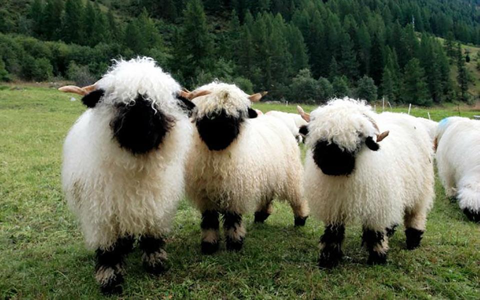 Cừu mũi đen Valais: Bạn biết gì về loài cừu dễ thương và đắt đỏ nhất thế giới?