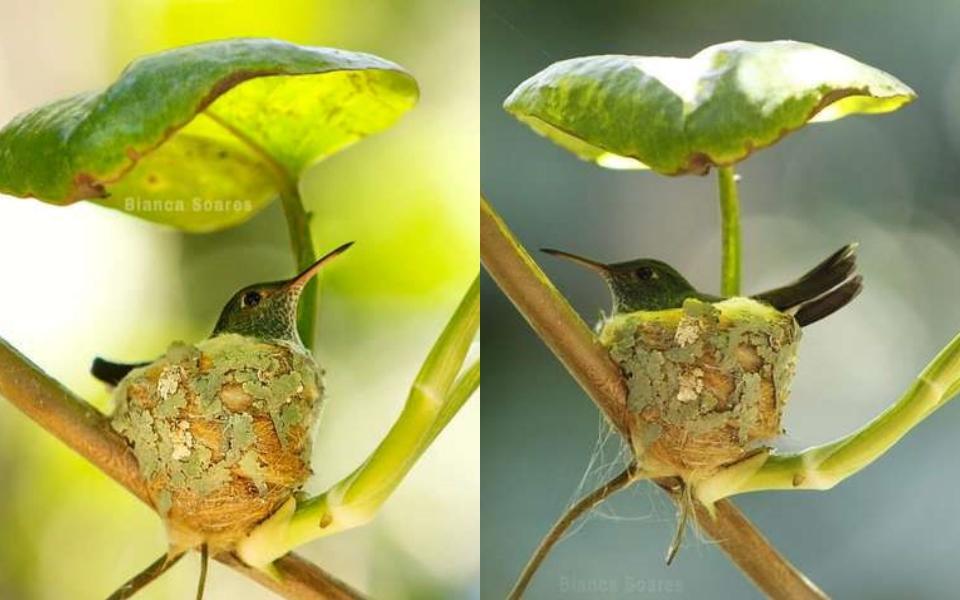 Hình ảnh chim ruồi chọn xây nhà dưới tán lá khiến mọi người thích thú
