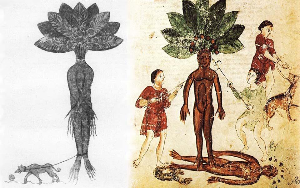 Khoai ma (Mandrake) - Sinh vật huyền bí được nuôi dưỡng từ máu của tử tù