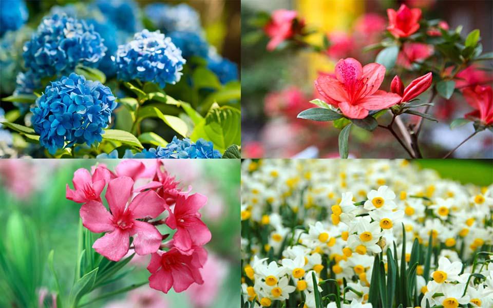 Những bông hoa của quỷ, chứa độc tố gieo rắc nỗi đau cho nhân loại