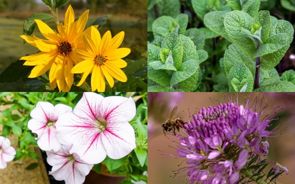 Điểm danh những loài cây cỏ giúp đánh đuổi sâu hại và thu hút côn trùng có lợi cho khu vườn nhà bạn
