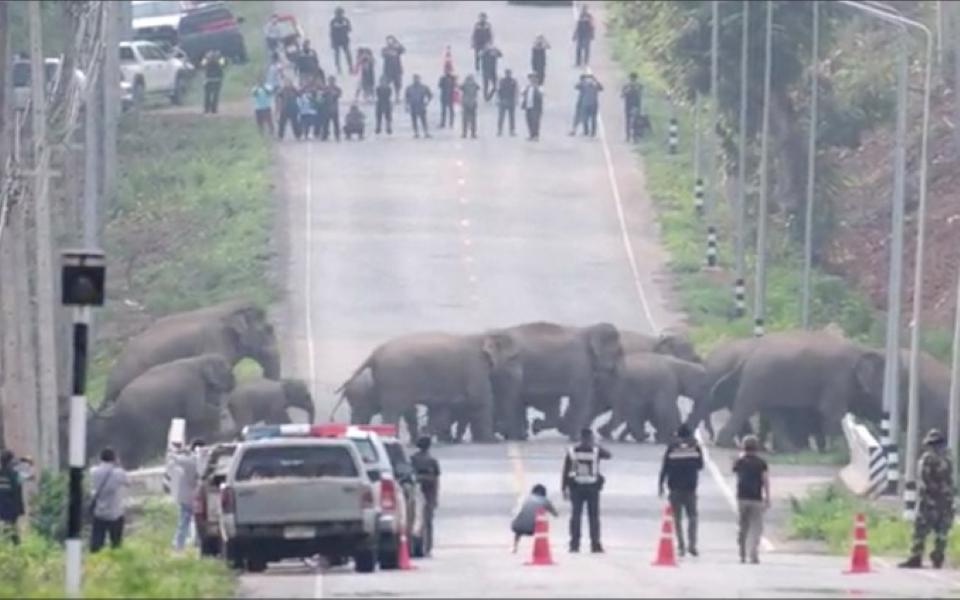50 chú voi 'thản nhiên' băng qua đường ở Thái Lan