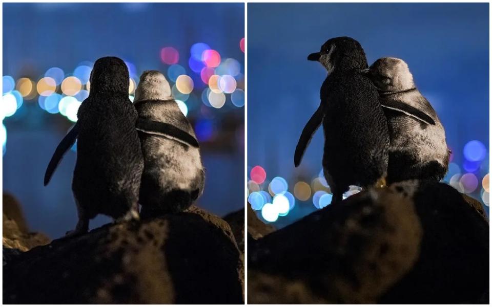 Cặp chim cánh cụt đúng giờ là ôm nhau cùng ngắm biển và câu chuyện cảm động phía sau