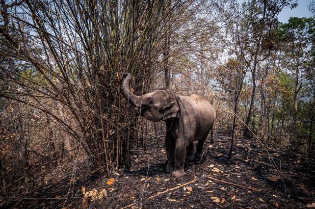 Những chú voi ở Thái Lan đối mặt với nguy cơ chết đói do ảnh hưởng của COVID-19