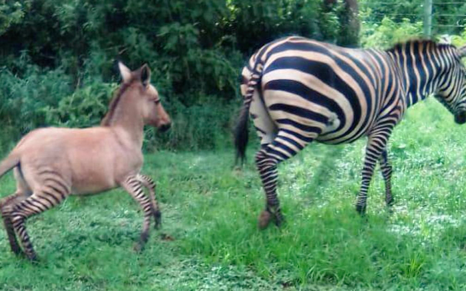 Mối tình giữa ngựa vằn và lừa cho ra đời chú 'lừa vằn' quý hiếm