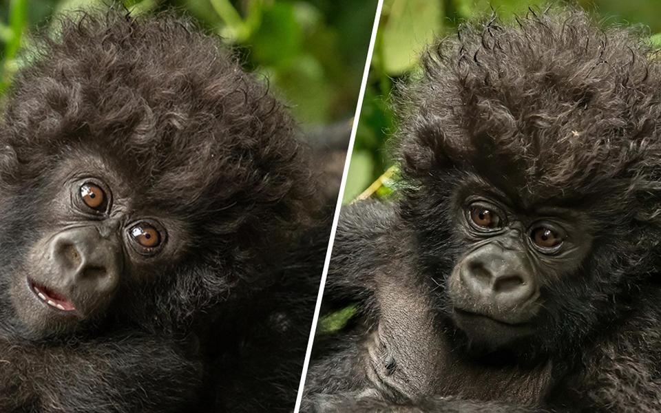 Em bé khỉ đột tóc xoăn thời trang khiến nhiếp ảnh gia vừa gặp đã cười xỉu