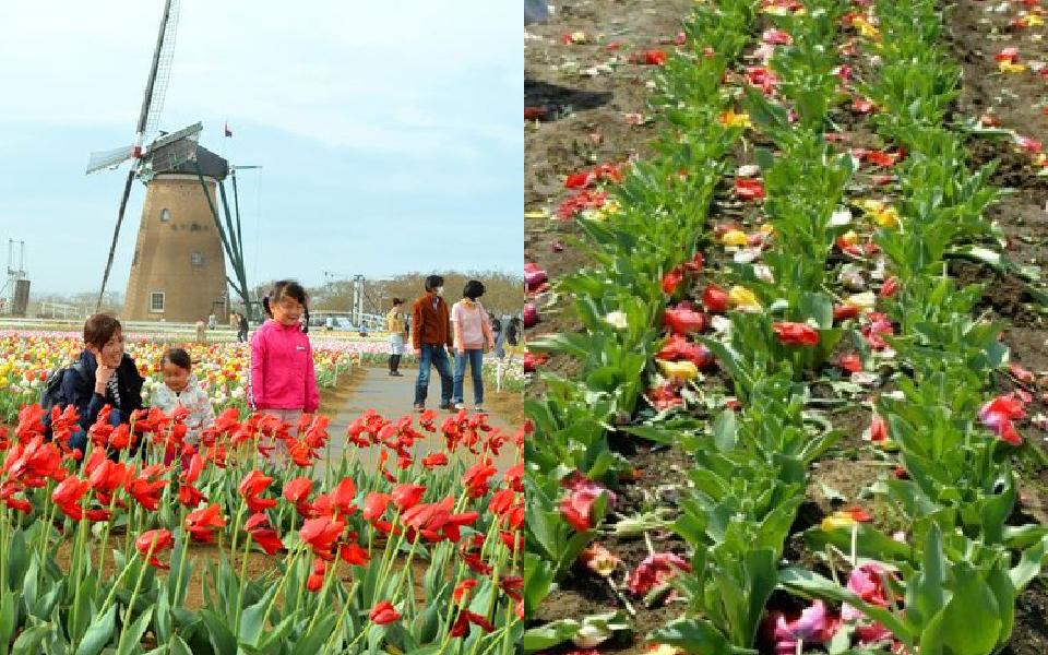 Thành phố Nhật Bản cày nát 800.000 bông Tullip để ngăn người dân tụ tập xem hoa