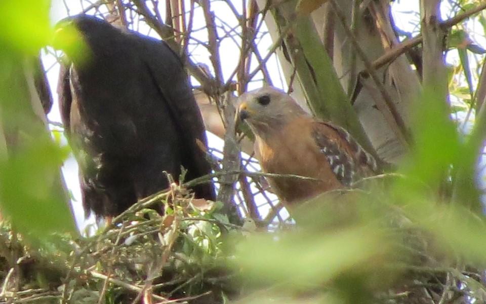 Chuyện tình Romeo và Juliet trong thế giới loài chim tạo ra con lai quý hiếm