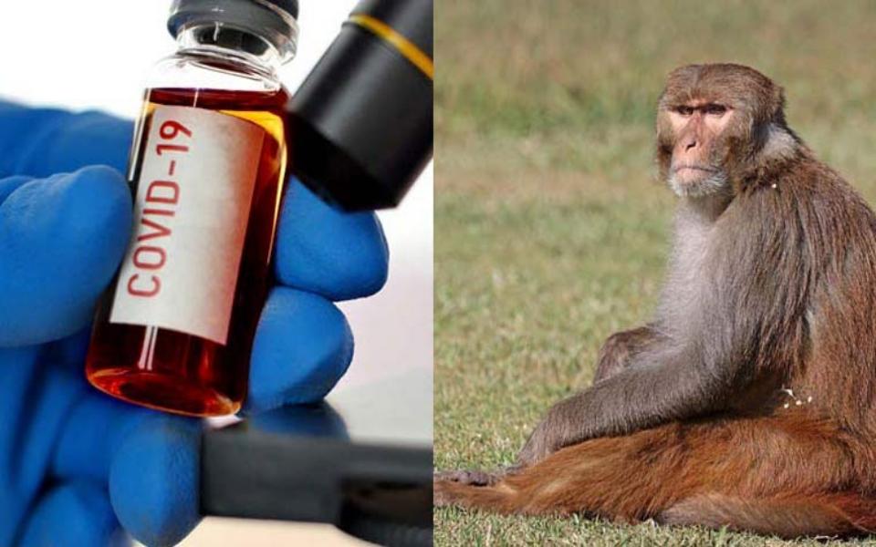 Đàn khỉ ăn cắp mẫu máu thử nghiệm Covid ở Ấn Độ khiến người dân lo sợ
