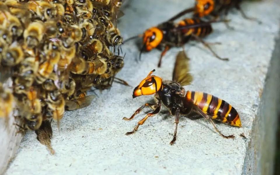 Ong bắp cày khổng lồ Châu Á tấn công Bắc Mỹ, đe dọa tàn sát ong mật bản địa