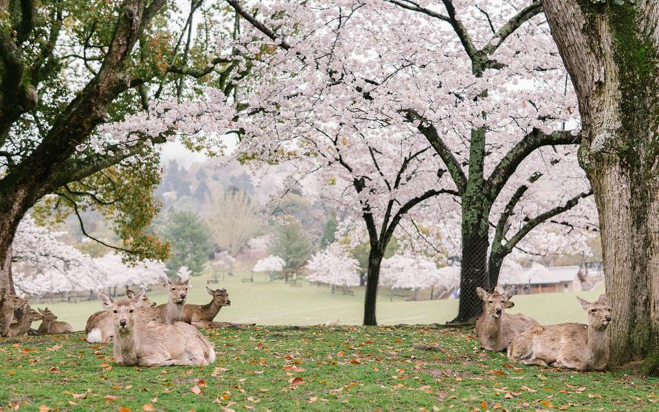 Khung cảnh thần tiên: Đàn nai thong thả dưới tán hoa đào trong công viên Nhật Bản