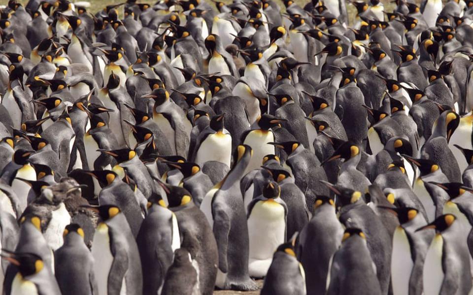 Phân chim cánh cụt phát ra khí cười khiến các nhà khoa học 'khóc vì cười quá nhiều'