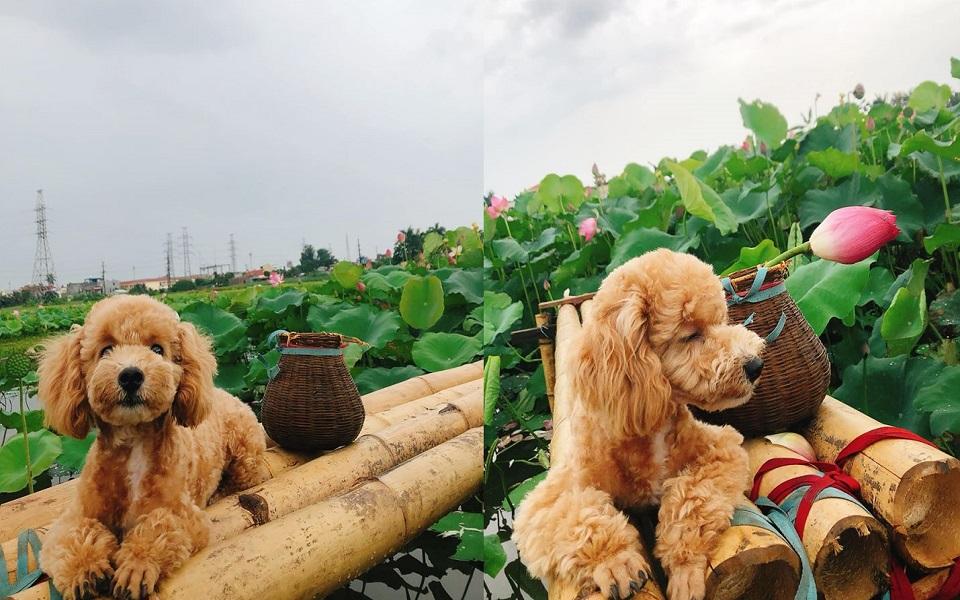 Chú chó Poodle mơ màng bên đầm sen nở rộ, thần thái không thua gì mẫu chuyên nghiệp
