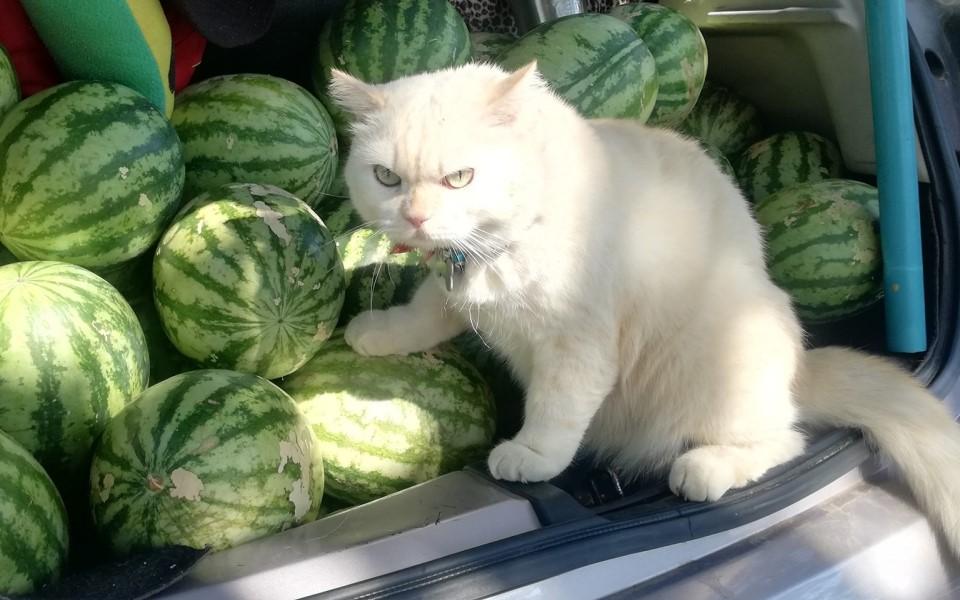 Chú mèo Thái Lan bất ngờ nổi tiếng vì ánh mắt tràn đầy sát khí hằm hè ai dám 'cuỗm' dưa hấu của chủ