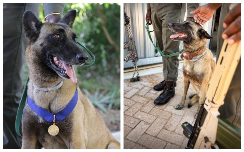 Killer - chú chó kiểm lâm dành cả đời để bảo vệ tê giác đã được an tử vì bệnh nặng