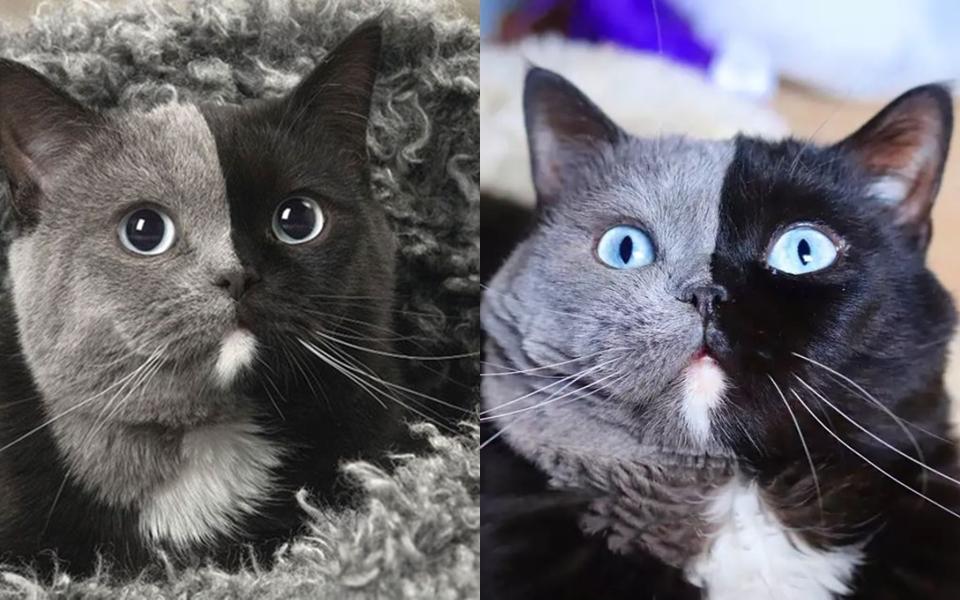 Narnia – chú mèo sở hữu hai màu lông đối xứng đã có 'hậu duệ' như phân thân từ bố ra