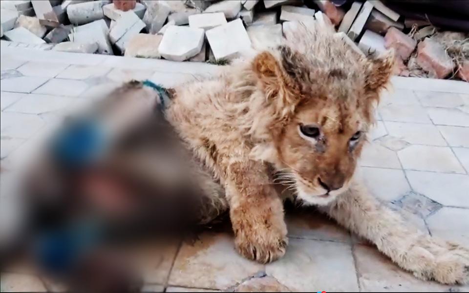 Tổng thống Putin tức giận vì chú sư tử bị đánh gãy chân để du khách tiện chụp ảnh