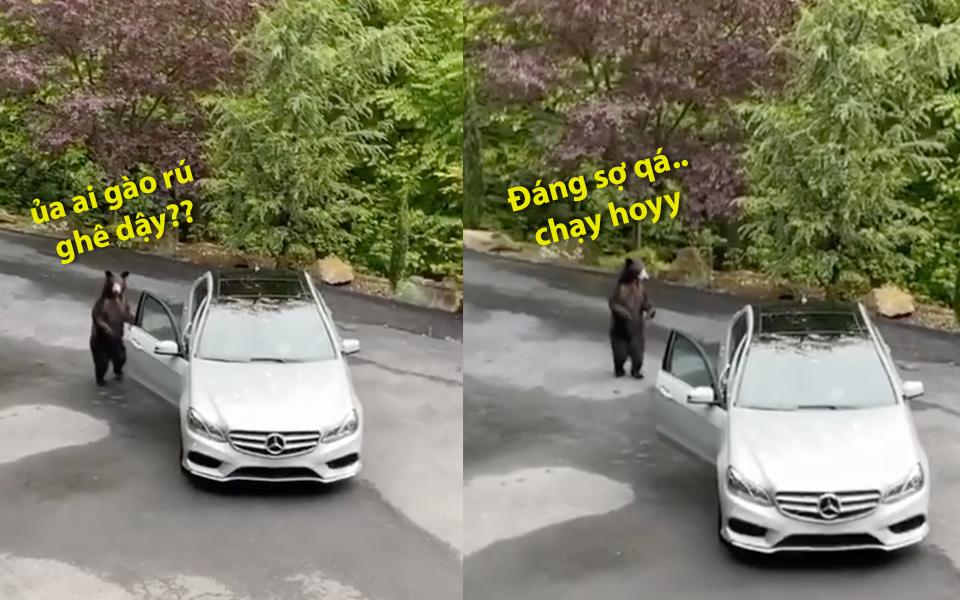 Người đàn ông giả giọng gầm rú thế mà lại dọa gấu hoang dã hết dám lên xe táy máy