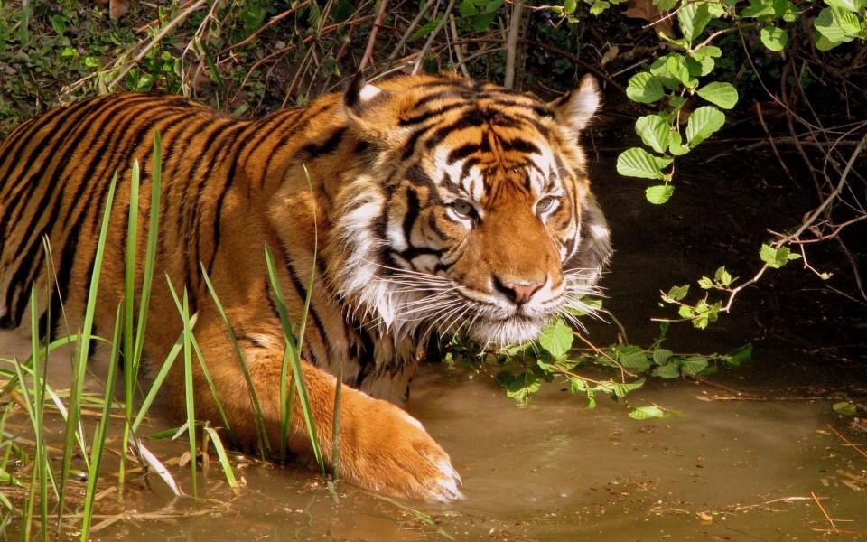 Hổ Đông Dương quý hiếm được phát hiện ở Thái Lan, hé mở hy vọng khôi phục giống loài sắp tuyệt chủng