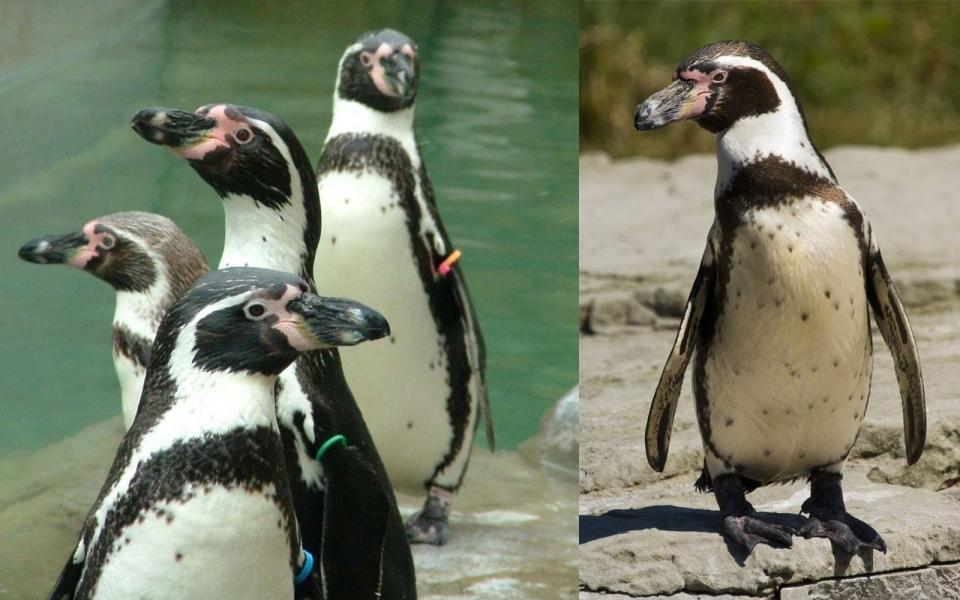 Giữ khoảng cách nhé, chim cánh cụt có thể 'phóng uế' xa tới 1,2m!