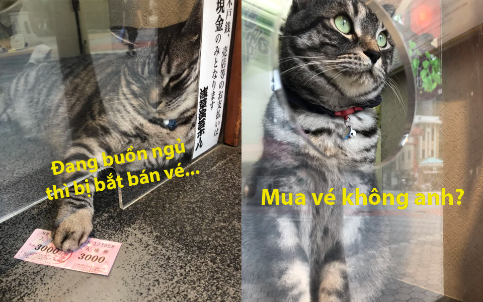 Chú mèo Nhật Bản bán vé trước cổng nhà hát bỗng nổi tiếng vì gương mặt... đuổi khách