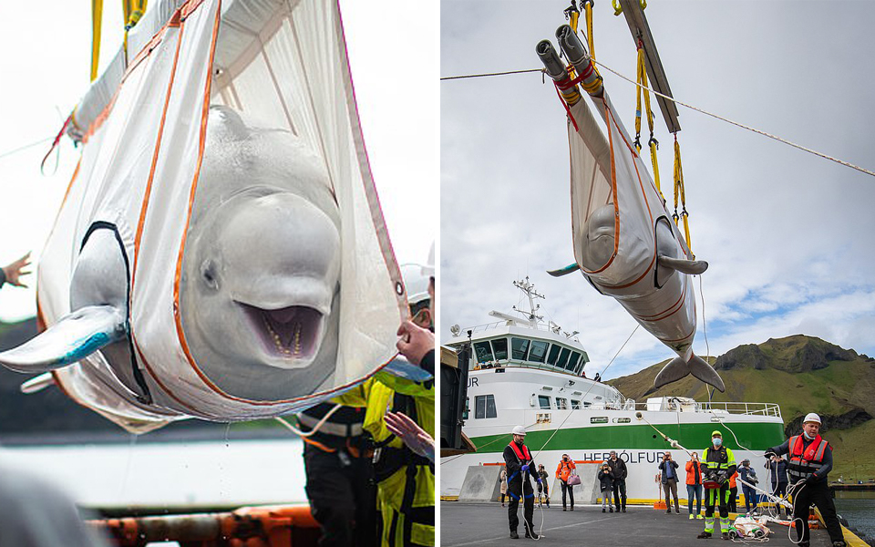 Nụ cười của hai chú cá voi khi được về với biển cả sau 10 năm bị giam cầm ở thủy cung Trung Quốc