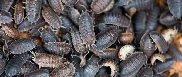 woodlice image h
