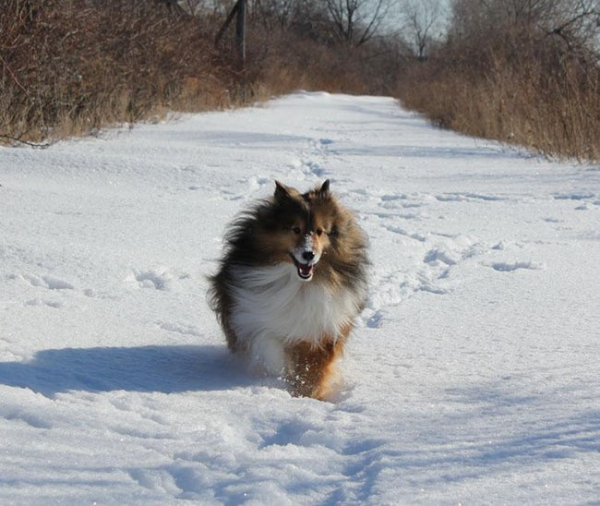 gigi a sheltie trekked 23 miles over 16 days in the winter cold to get back to her original photo u1