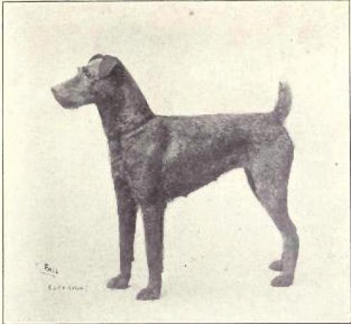 irish terrier 5