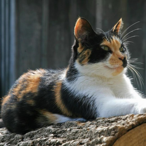 gribouille a calico cat walked 600 miles home from west germany to central france photo u2