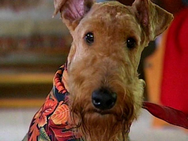 max an airedale terrier traveled 45 miles and crossing state lines to find home photo u1